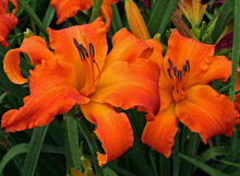Day Lily Daylily Seeds Hemerocallis Primal Scream Seeds Hemerocallis Fulva Day-lily Orange Flower Seeds Ground Cover Plants