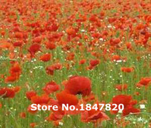 GGG New Rare RED CORN POPPY Papaver Rhoeas - 500 Flower Seeds Free Shipping