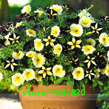 Rare Unique Black + Yellow Petunia Seeds Balcony Potted Petunia Flower Seeds 500 pcs