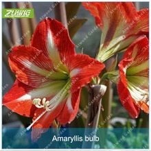 Buy ZLKING 1pcs Hippeastrum bulb Bonsai Amaryllis Home Garden Lily Bonsai Perennials Flower Bulb Seed High Germination Rate for $2.19 in AliExpress store