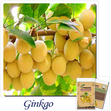 The new production of ginkgo seed ginkgo seeds 10 green road forest seedling plant species