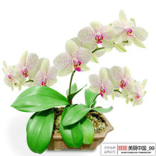 50pcs/lot Butterfly Orchid Flower Seeds Phalaenopsis amabilis sementes flower seeds for home garden free shipping(China)