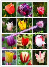 Tulip seeds, tulip flowers, beautiful tulip 24 varieties can pick -100 seeds for home & garden