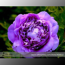 Heirloom 'Big-leaf Hydrangea' Purple Peony Tree Seeds, Professional Pack, 5 Seeds / Pack, Light Fragrant E3369