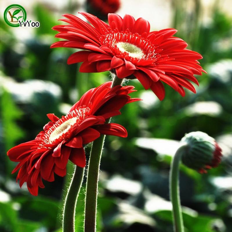 30 seedspack barberton daisy seeds beautiful rate 95 rare flower for kid garden decoration bonsai flower seeds