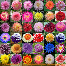 36 Types Perennial Dahlia Flower Seed, 100 Seeds/Pack, Rare Dahlia Pinnata Bonsai Seed Ornamental Flower DIY GARDEN-Land Miracle