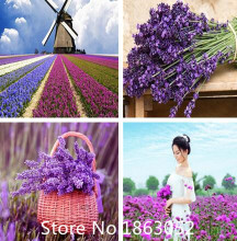 Garden Aromatic plants Little girl Lavender,Little girl Lavender seeds, Aromatic plants seeds,about 200 particles for Christmas(China)