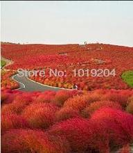 Park Ornamental Plants, 200 Piece Australia Big Lantern Kochia Scoparia Grass Seeds, Best Varieties, 98% Germination Rate