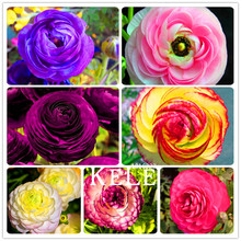 New Arrival! 50 Pcs/Lot Bonsai flower seed Ranunculus asiaticus Flower Seeds For Home Garden DIY Plants