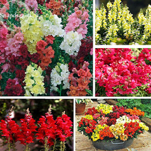 Rare Colorful Snapdragon Flower Mixed Antirrhinum Majus, 50 Seeds, long flowering light up your garden E3613