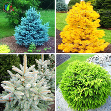 20pcs/bag Colorado Blue Spruce Tree Seeds Tree Potted Bonsai Courtyard Garden Bonsai Plant Pine Tree Rare Seeds home garden