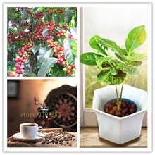 Coffee Bean Seeds Balcony Bonsai Tree Plant Seed 20 pcs vegetables seeds for home garden planting