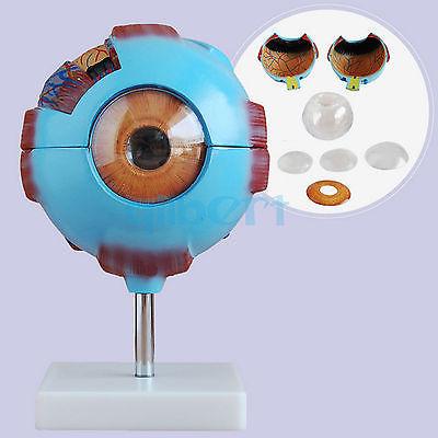 Blue Human Eye Ball Anatomical Model Training 6X Life Size Medical Kit<br>