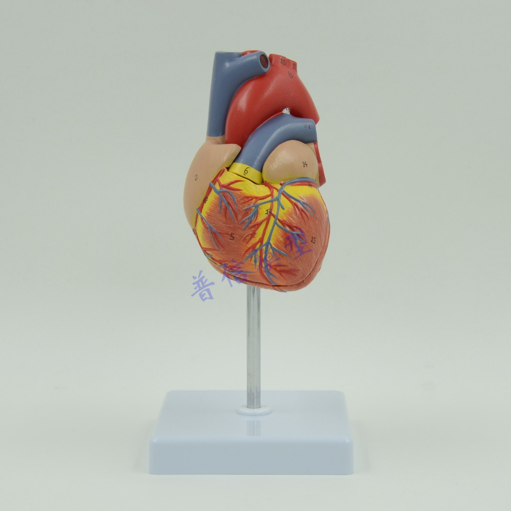 DongYun brand 1:1 human heart anatomical model Medical Science teaching supplies<br>