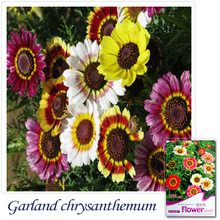 Buy 2 Get 1!(Can accumulate ) 1 Pack 30+ Seed Annual chrysanthemum Chrysant hemun flower A018(China)