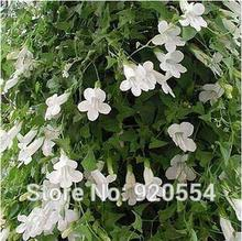 Imported seed,5pcs/pack Climbing Snapdragon(Asarina Scandens White or rose) seeds bonsai plant DIY home garden free shipping(China)