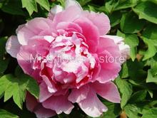 Peony Seed 6 Seeds Of Each Pack Paeonia Suffruticosa Dignified Flower Garden Seeds Hot A154