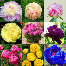 10PCS Bonsai Flower Pretty Peony Seeds High Quality Peony Flower Seeds Potted ornamental flowers plants for home garden(China)