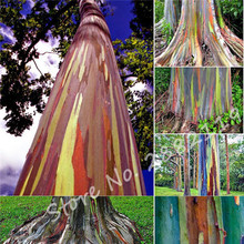Special Offer! Hawaii Rainbow Eucalyptus Tree Seeds, Bonsai Tree Perennial Garden Plant Seeds 100 Pcs/Bag Free Shipping(China)