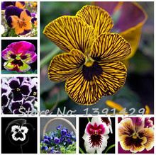 24 colors 50pcs/pack Mexican pansy seeds Wavy Viola Tricolor Flower Seeds bonsai potted plant DIY home & garden Free shipping(China)