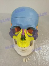 Free shipping&1:1 color head model, the natural human skull, adult head, the anatomy of the medical.(China)