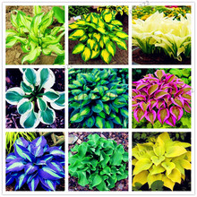 200pcs/pack Hosta Seeds Perennials Plantain beautiful Lily Flower White Lace Home Garden Ground Cover Plant(China)