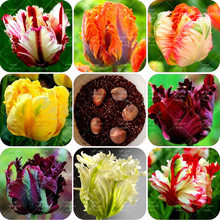 Buy 2bulbs True tulip bulbs (not tulip seeds)Rare bonsai flower bulbs Aroma potted plant Variety Fresh Bulbous Root tulipanes plant for $1.19 in AliExpress store