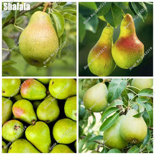 Exotic Pear Fruit Seed Potted Plant For Home & Garden Perennial Tree Juicy Fruit Seed, The Best Gift For The Child 30 Pcs/Packag(China)