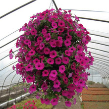 100/BAG Hanging petunia seeds,Balcony potted trailing petunia flower seeds,Original Package seed