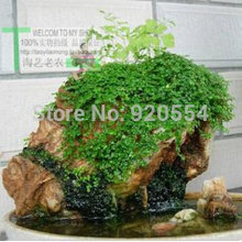 Hot selling 5 gram/pack rockery grass clover grass seeds bonsai seeds DIY home garden free shipping (original packaging)