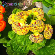 100pcs Calceolaria Seeds Aliens Funny Rare Flower In Home Garden Diy Bonsai Beautiful Outdoor Plants Easy Planting Free Shipping