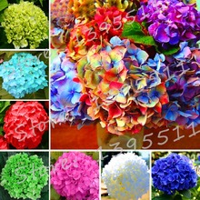Rare Color Hydrangea Flower Seeds Beautify the Environmen Home Garden Bonsai 100 Pieces / Lot