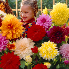 Real 20 pcs/bag mix colors dahlia seeds Surprisingly giant flower seeds baby very love it ~bonsai or pot plant seeds(China)