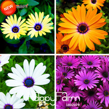 Promotion!Osteospermum Seeds Potted Flowering Plants Blue Daisy Flower Seeds for DIY Home & Garden,50 PCS,#GWINRB(China)