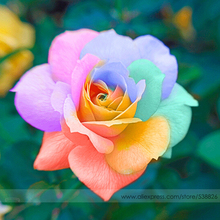 the Rarest Bright Rainbow Rose Flower Seeds, Professional Pack, 50 Seeds / Pack, Heirloom Garden Bonsai Flower Plant #NF575