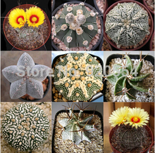 Hot selling 20pcs mixed cactus (Astrophytum) plants succulents plants seeds DIY home garden free shipping