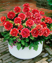 100 pcs True dahlia seeds,dahlia flower,(not dahlia bulbs),bonsai flower seeds,Symbolizes courage and lucky,home garden plants(China)