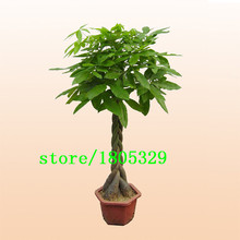 GGG Hot Sale Pachira Macrocarpa Seeds 100% True Bonsai Tree Seeds Whip Pachira for DIY Home Garden Household Items 10PCS/pack(China)
