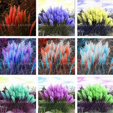500 Pcs Pampas Garss,Pampas Seeds,Indoor Bonsai Plant,Ornamental Plant Flowers Cortaderia Selloana Grass Seeds for Home Garden(China)