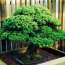 Bonsai seeds 50 pcs Japanese White Spruce Pine, Pinus parviflora, Tree Seeds Bonsai Evergreen DIY Home gardening !
