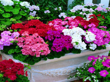 100pcs Geranium seeds potted balcony planting seasons Pelargonium potted sprouting 95% mixed color flower seeds +Free Rose Gift