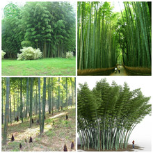 Huge 100 seeds Giant Phyllostachys pubescens moso bamboo seeds hardy -Giant Bonsai plants f85