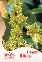 Perennial Flower Tree Seed Osmanthus Fragrance flower plant seed varieties 4 grain/package