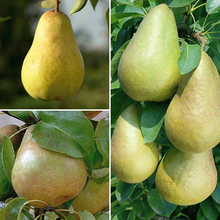 Hot Sale 30 pcs/ bag Rare Pear Seeds Outdoor Juicy Organic Non-GMO Bonsai Potted Garden Plant Tree for Flower Pot Free Shipping(China)