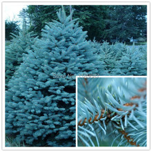 100pcs / bag,Colorado Blue Spruce tree seeds Picea Pungens Glauca Tree blue color very beautiful