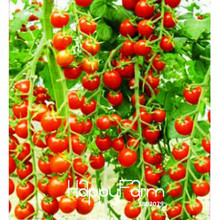 Promotion!Vegetables fruits and seeds tomato skgs red cherry tomatoes seeds tomato balcony bonsai,100 PCS/Pack,#485EYC
