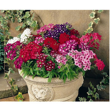 Selling potted flower seeds,Verbena seeds (mixed colors),50PCS/BAG SEEDS FOR home garden planting(China)