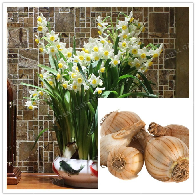True White yellow Narcissus Bulbs,Daffodil Bulb Bonsai Aquatic Plants Double Petals Absorption Radiation Potted Plant-2 bulb
