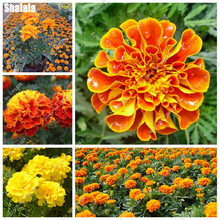 Peacock Grass Seed Bonsai Flower Heart Chrysanthemums Plant Marigold Tagetes Seed Diy Home Garden Household 50 Pcs(China)