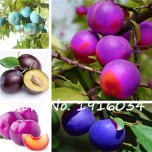 Direct Plum Tree Plum Plum Tree Seed Tender and Mouthwatering Varieties Complete Specifications 5Pcs Free Shipping